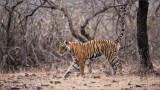 Tiger Marking territory in India!