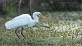 Great White Egret and a Bullfrog