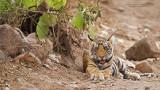 Royal Bengal Tige Cub