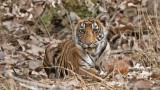 Tiger cub - India