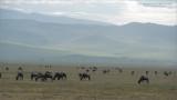 Wildebeests of the Ngorongoro Crater
