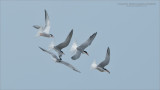 Five Hungry Terns