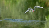Common Tern in for a Drink