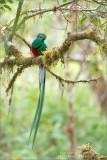 Respendent Quetzal in Costa Rica