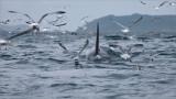 Orca and Gulls - Newfoundland