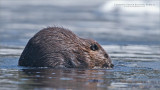 Canadian Beaver blowing bubbles!