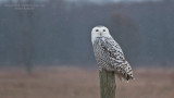 Maria Barlow -  Snowy Owl Image