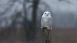 Snowy Owl - Ontario Canada
