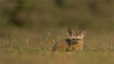 Bat-eared fox in Tanzania