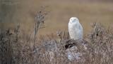 Snowy Owl - Swarovski Spotting scope