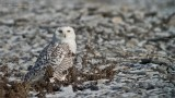 Shoreline Snowy Owl