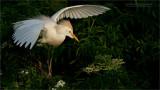 Cattle Egret in Florida
