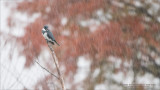 Belted Kingfisher in the Rain