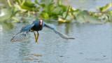 Purple Gallinule in Flight
