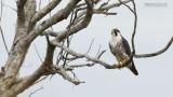 Peregrine Falcon in Florida