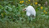 Great egret and a Catfish Lunch!