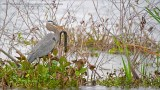 Great Blue Heron with a Greater Siren for Lunch