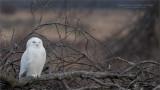 Snowy Owl on a Brush Pile