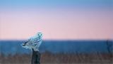 Snow Owl at Sunrise