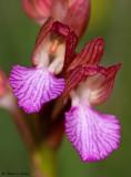 Anacamptis papilionacea