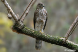 Sparviere- Eurasian Sparrowhawk (Accipiter nisus