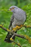 Cuculo-Common Cuckoo (Cuculus canorus)