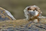 Merlo acquaiolo-White-throated Dipper (Cinclus cinclus)