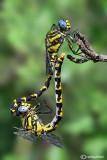 Onycogomphus uncatus