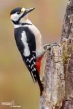 Picchio rosso maggiore-Great Spotted Woodpecker (Dendrocopos major)