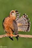 Falco cuculo- Red-footed Falcon (Falco vespertinus)