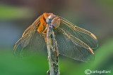 Crocothemis erythraea