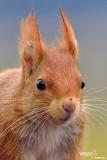 Scoiattolo rosso - Red squirrel - (Sciurus vulgaris)
