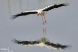 Cicogna bianca- White Stork (Ciconia ciconia)
