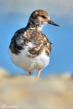 Voltapietre-Ruddy Turnstone  (Arenaria interpres)