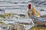 Cardellino-European Goldfinch (Carduelis carduelis)