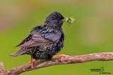 Storno -Starling (Sturnus vulgaris)
