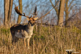 Daino-Fallow Deer (Dama dama)