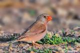 Trombettiere -Trumpeter Finch(Rhodopechys githaginea)