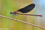 Calopteryx haemorrhoidalis male