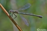 Lestes dryas female