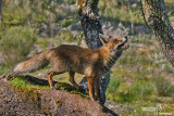 Volpe-Red Fox (Vulpes vulpes)