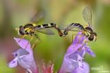 Spharophoria scripta mating