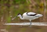 Avocetta- Pied Avocet (Recurvirostra avosetta)