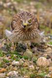 Occhione-Stone-curlew (Burhinus oedicnemus)