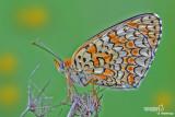 Melitaea phoebe