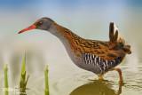 Porciglione - Water Rail (Rallus aquaticus)