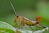 Mosca scorpione - Scorpion flies (Panorpa sp )