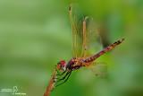 Trithemis annulata