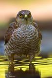 Sparviere- Eurasian Sparrowhawk (Accipiter nisus )