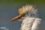 Airone guardabuoi-Cattle Egret  (Bubulcus ibis)